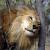 lion3